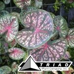 caladium-thai-star