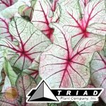 caladium-white-queen