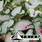 caladium-white-wing