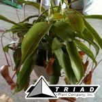carniverous-nepenthes-6-inch-hb