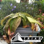 carnivrous-pitcher-plant-8inch