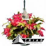 christmas-cactus-hb-8-inch