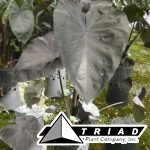 colocasia-black-coral