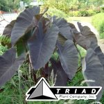 colocasia-black-magic