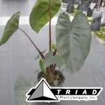colocasia-diamond-head
