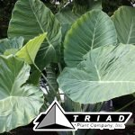 colocasia-thailand-giant