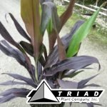cordyline-black-magic