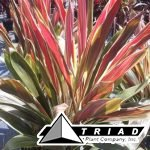 Cordyline-Brians-Diamonds.jpg