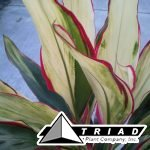 cordyline-candy-cane