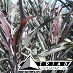 cordyline-caruba-black