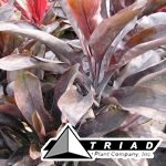 cordyline-chocolate