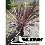 cordyline-dark-star