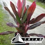 cordyline-florida