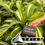 cordyline-golden-stripe