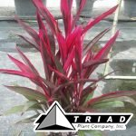 Cordyline-Hot-Pepper.jpg