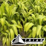 cordyline-lemon-lime