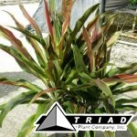 cordyline-mcinery-spear