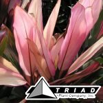 cordyline-moonlight