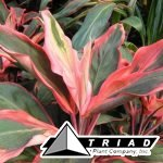 cordyline-orange-slice