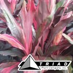 Cordyline-Picasso-red.jpg