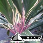 cordyline-pink-diamonds