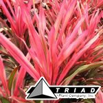 cordyline-pink-pepper