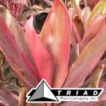 cordyline-red-bull