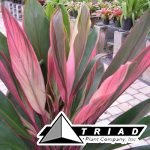 cordyline-silver-pink