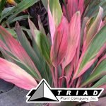 cordyline-silver-star