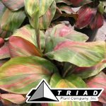 cordyline-wileys-gold