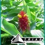 costus-barbatus-red-velvet-red-velvet-ginger