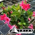 dipladenia-rio-red-bush-6-inch