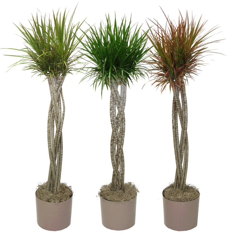 Dracaena triad plant company inc for Dracaena marginata