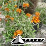 epidendrum-ground-orchid