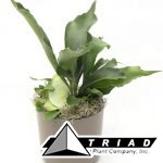 fern-staghorn-compact