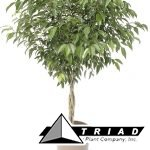 ficus-amstel-king-mini-braid