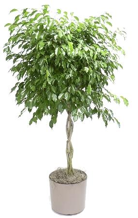 Ficus Triad Plant Company Inc