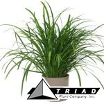 liriope-super-green-giant