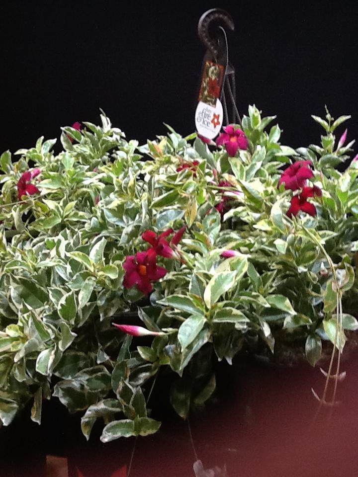 Flowering Vines Triad Plant Company Inc