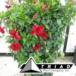 mandevilla-pretty-crimson