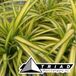 pandanus-variegated-spineless