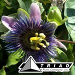 passion-flower-blue
