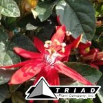 passion-flower-red