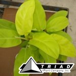 philodendron-lemon-lime
