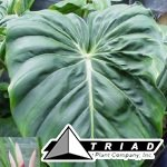 philodendron-mcdowell