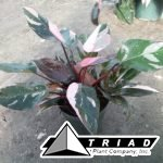 philodendron-pink-princess-6in