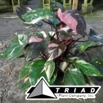 philodendron-pink-princess-8in-hb