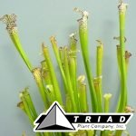 pitcher-plant-assorted-carniverous