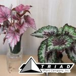 rex-begonia-assorted