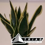 sansevieria-black-gold-superba